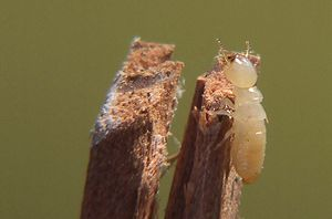 Pest (organism) - Termites cause structural damage