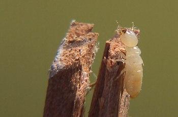 Una termite lavoratrice