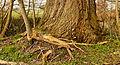 Wortels van een es (Fraxinus excelsior) om voet van een wilg (Salix). Locatie, Natuurterrein De Famberhorst 02.jpg