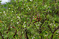 Wrightia tinctoria in Keesaraguda, AP W IMG 9080.jpg