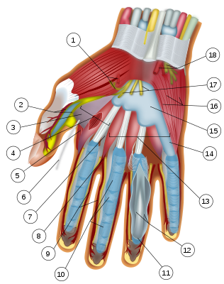 Wrist and hand deeper palmar dissection-numbers.svg