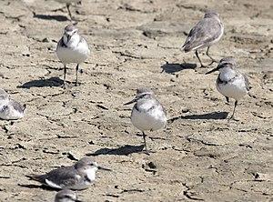 Wrybill - Wrybills on mud flat, Firth of Thames