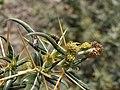 Xanthium spinosum - staminate flowers.JPG