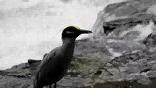 File:Yellow-crowned Night Heron eating crayfish.webm