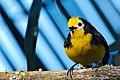 Yellow-fronted Redstart.jpg