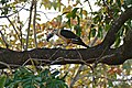 Yellow-headed Caracara (Milvago chimachima) with prey ... (31790454626).jpg