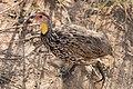 Yellow-necked Spurfowl (28202010065).jpg