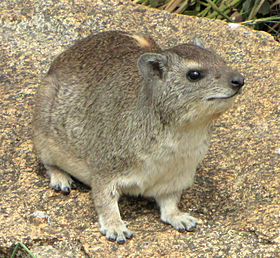 Yellow-spotted Rock Hyrax.jpg