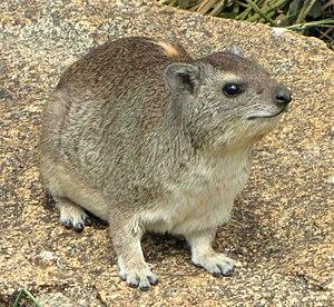Hyrax - Yellow-spotted rock hyrax (Heterohyrax brucei)