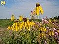 Yellow Coneflower - Midwest Region (8758369346).jpg