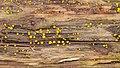 Yellow Fairy Cup (Bisporella citrina) - La Pêche, Québec 2016-09-20 (02).jpg