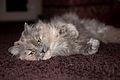 Yellow eyed cat in carpet.jpg