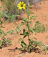 Yellow flower in the Petrified Dunes area of Arches NP.jpeg