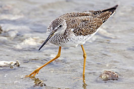 Yellowlegs - natures pics edit.jpg