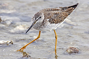 Image:Yellowlegs_-_natures_pics_edit.jpg