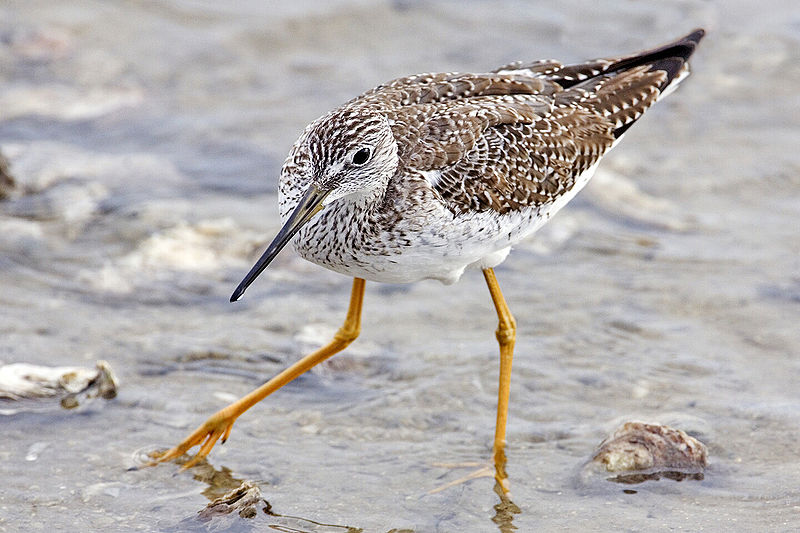 Ficheiro:Yellowlegs - natures pics edit.jpg