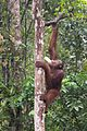 Young Orangutan with bottle of milk (26698623062).jpg