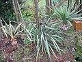 Yucca arkansana subsp. louisianensis fh 1180.4 ARK in cultur in der Sammlung F. Hochstatter B.jpg