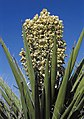 Yucca schidigera fh 1183.9 NV B.jpg