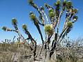 Yucca sps (5703139278).jpg