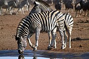 Zebras at waterhole, Kruger National Park (7827114862).jpg