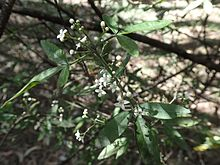 Zieria smithii leaves and flowers.jpg