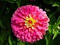 Zinnia Flowers گل آهاری 08.jpg