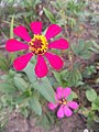 Zinnia single layer and 8 Petals red 1.jpg