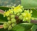 Ziziphus mucronata, blomme, Roodeplaat NR, a.jpg