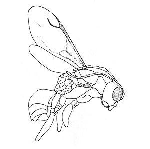 Deinodryinus areolatus - Image: Zoo Keys 130 495 g 002 Deinodryinus areolatus