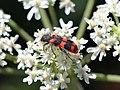Zottiger Bienenkäfer (Trichodes alvearius).jpg