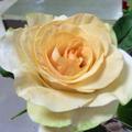 Zuckerblume aus Blütenpaste.png