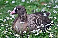 Un'oca lombardella minore nel Parco degli Uccelli di Walsrode (Weltvogelpark Walsrode, Germania)