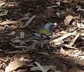 'North African' Chaffinch. Fringilla coelebs africana - Flickr - gailhampshire.jpg