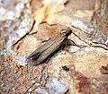 (0732) Eulamprotes unicolorella (34177145683).jpg