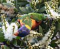 (1)Rainbow lorikeet 067.jpg