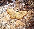 (1712) Small Scallop (Idaea emarginata) (36634216961).jpg
