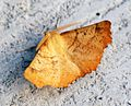 (1911) Large Thorn (Ennomos autumnaria) - Flickr - Bennyboymothman (2).jpg