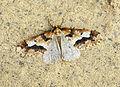 (1935) Mottled Umber (Erannis defoliaria) (22446897052).jpg