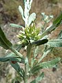 (ALB) F. pyramidata-5.jpg