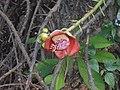 (Couroupita guianensis) at Kakinada Gandhinagar park 08.JPG