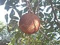 (Couroupita guianensis) at Kakinada Gandhinagar park 14.JPG