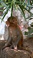 (Macaca mulatta) Rhesus macaque Juvenile at Bhadrachalam.JPG