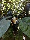 Ευρωπαϊκή μέλισσα σε άνθος νερατζιάς - europian honey bee on a citrus blossom.jpg