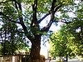 Історичне дерево.jpg
