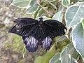 Бабочка на выставке НБС 7.jpg