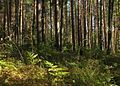 В сосновом лесу - panoramio (5).jpg