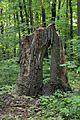 Група вікових дерев дуба 07.JPG