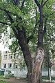 Дуб-долгожитель на улице Коминтерна.jpg