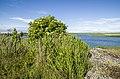 Куст цветущий калины на фоне озера. Irbenes krūms uz ezera fona. - panoramio.jpg